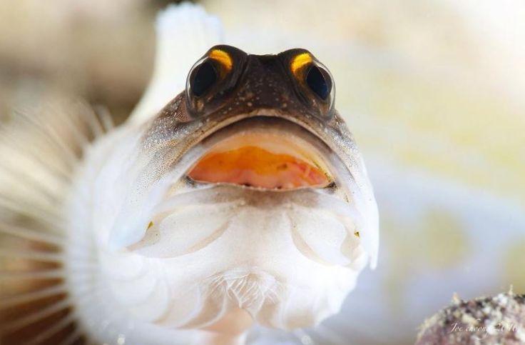 Yellowbarred Jawfish - by Joe Choong #Jawfish