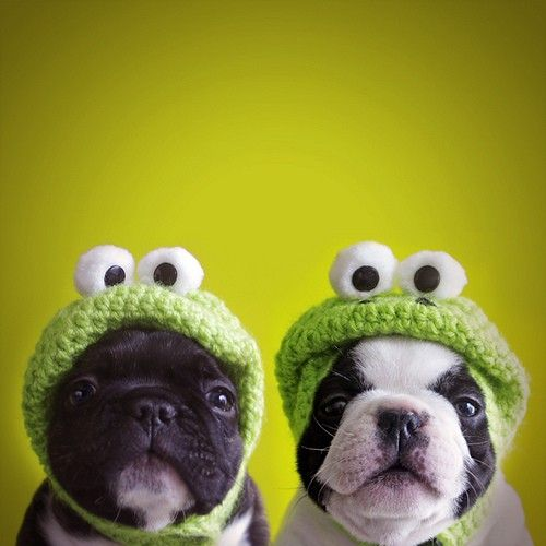 frogs: Puppies, Funny Dogs, French Bulldogs, Crochet Hats, Pets, Pugs, Boston Terriers, Frogs, Animal