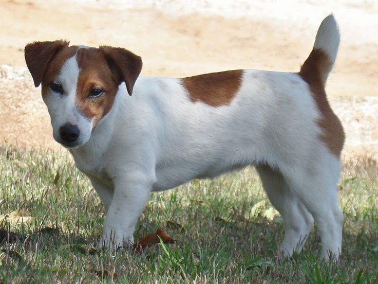 Canil Hunter Dream - Jack Russell Terrier Hunter Dream Tp Connie