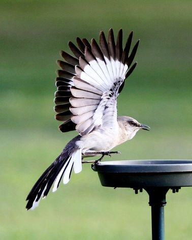 """Mockingbird stopping for lunch."" Photo by Pat Piercey."