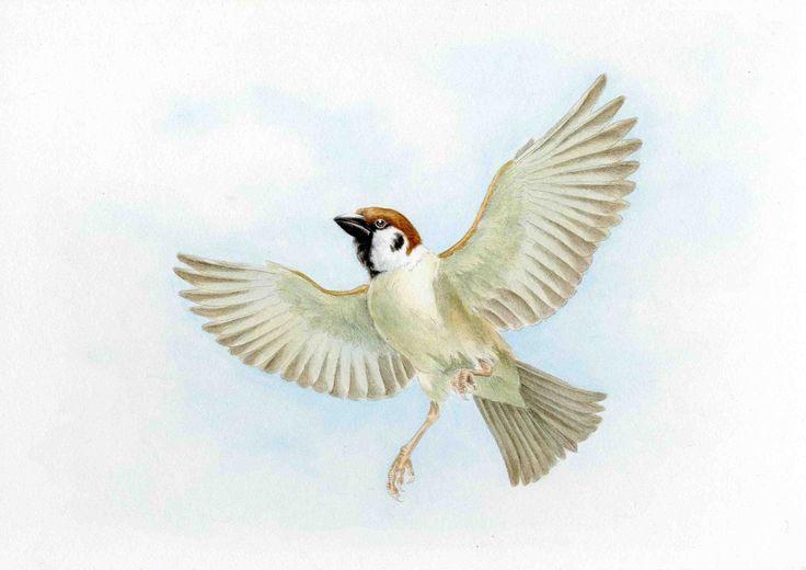 Tree Sparrow : Acrylic スズメ飛翔:アクリル絵具