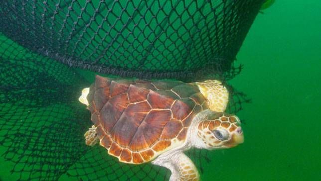 Nets pose a significant danger to the endangered sea turtles.