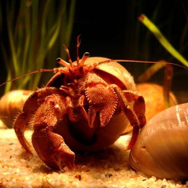 Hermit crabs can live 20 to even 40 years.