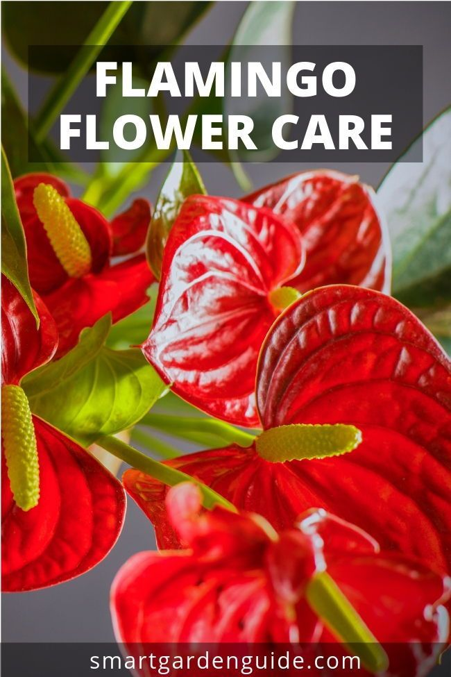 Flamingo Flower Care Learn How To Grow And Care For Anthurium Plants Flamingo Flowers Flamingo Flower Anthurium Plant Flower Care