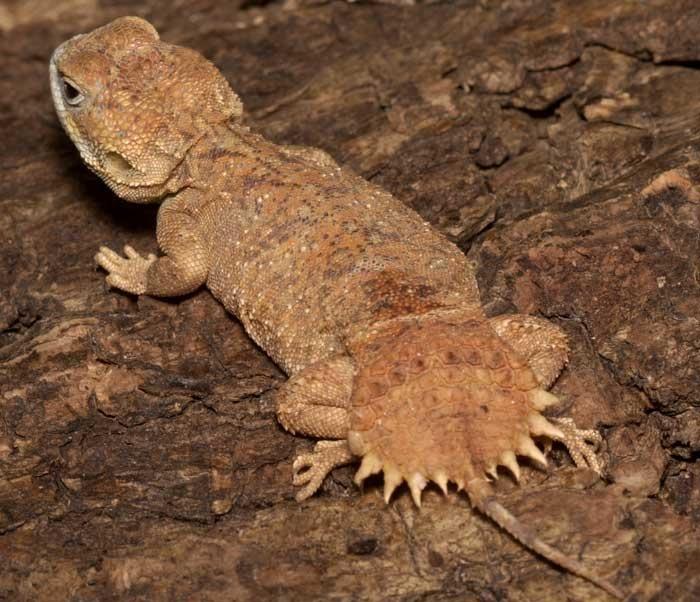 Shield Tail Agama Pet Birds Lizard Species Amphibians