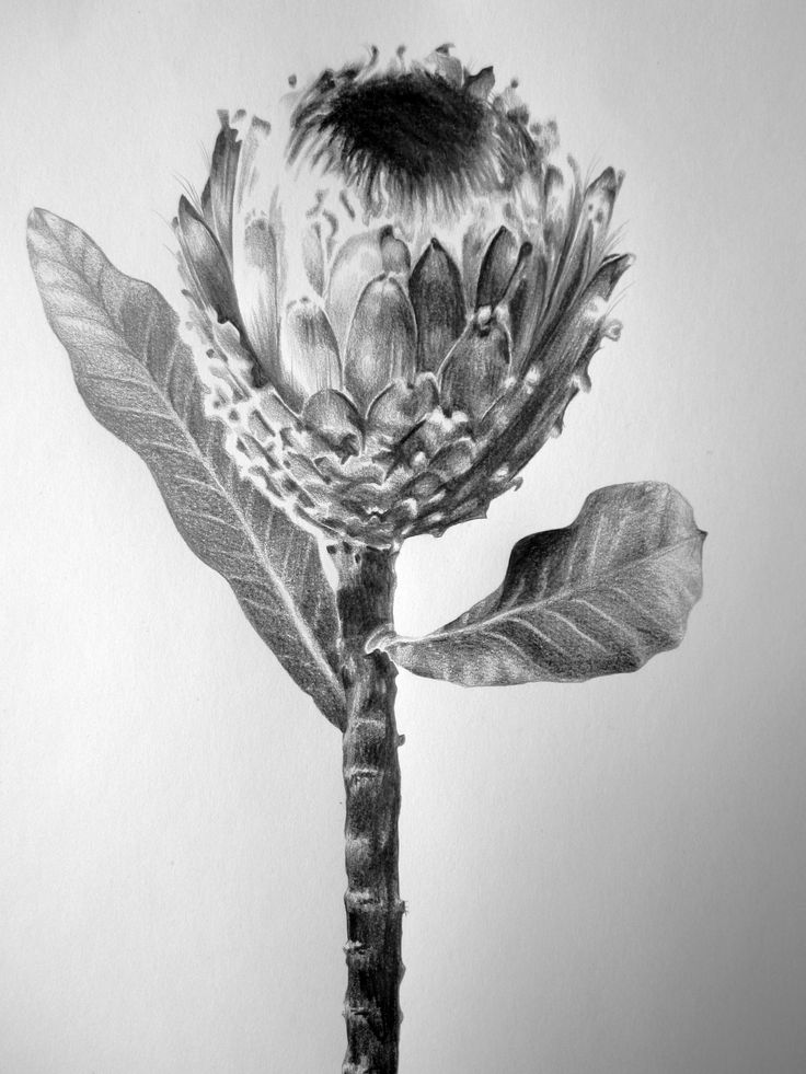 "Saatchi Art Artist: Ira van der Merwe; Pencil 2013 Drawing ""Protea Study I"""