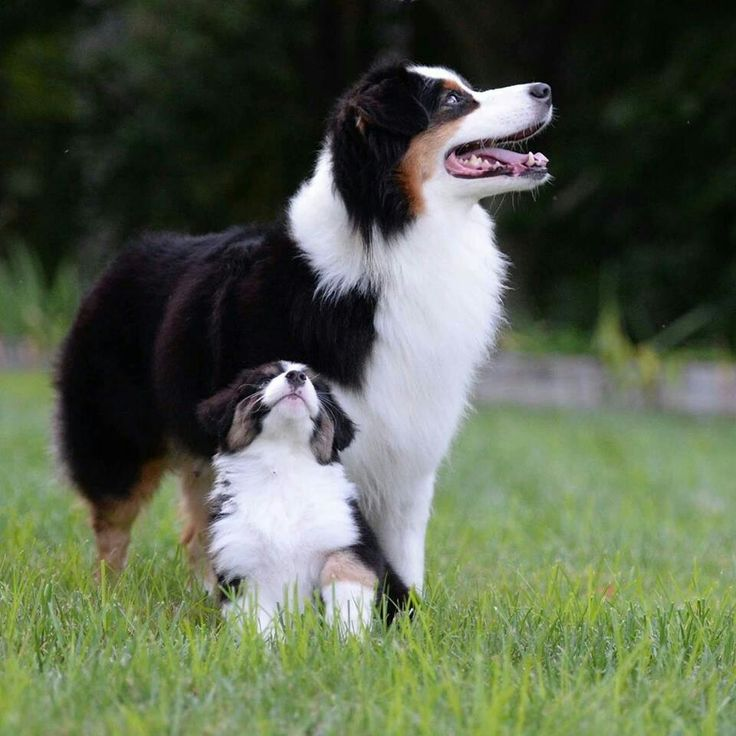 202 best mostly aussies images on pinterest australian shepherd australian shepherds malvernweather Images