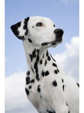 Wir sind ja alle ein wenig in Dalmatiner verliebt bei Schröders Hund. Und wenn dann noch ein schickes Schröders Hund Halsband getragen wird, noch besser! www.schroedershund.de
