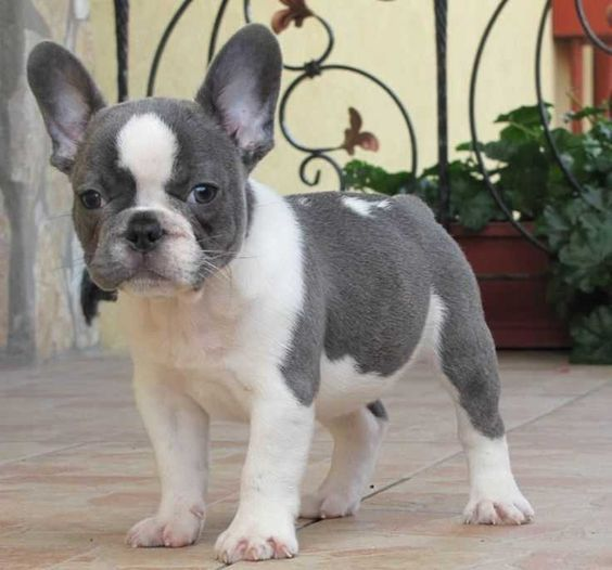 White And Grey French Bulldog Puppy  #whiteandgreyfrenchbulldogpuppy #white #grey #frenchbulldog #puppy