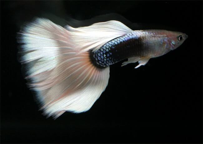 Guppy Fish Types Of Guppies Species Colour And Tail Patterns Guppy Fish Guppy Fish