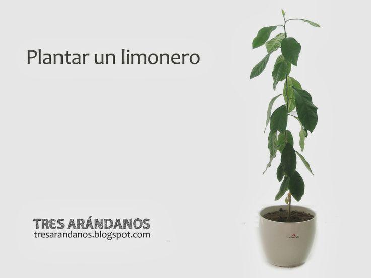 Tres Arándanos: Cómo germinar semillas de limón