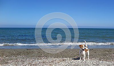 Jack Russell terrier exploring the beach.