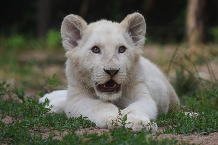 https://flic.kr/p/QcWQhY | White lion cub @ Zoo d'Amneville 16-07-2016 | Date of birth: 27-03-2016 His name is Bongo, Komga or Gandor.