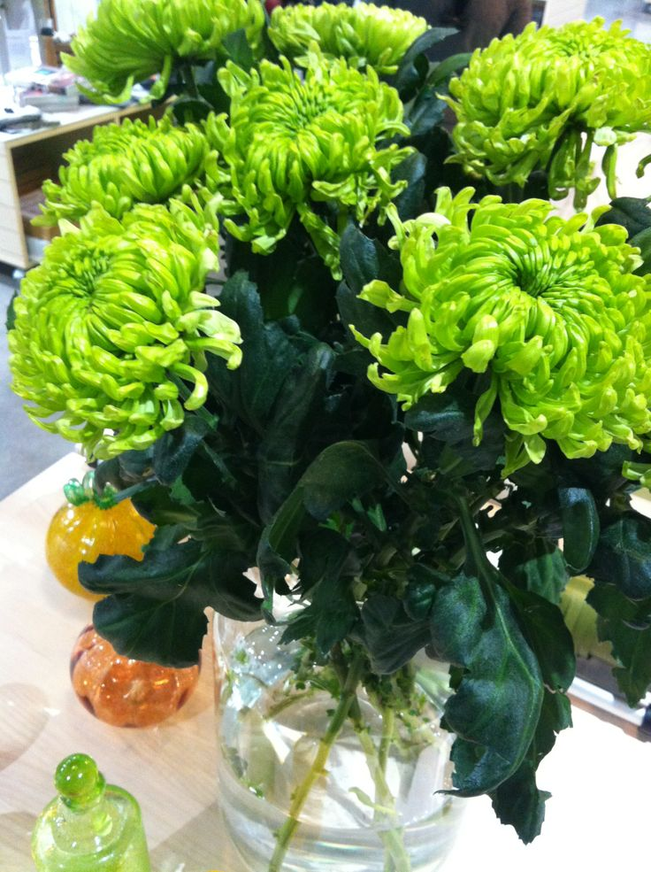 Green #chrysanthemums on our shop countertop, a promise of #spring