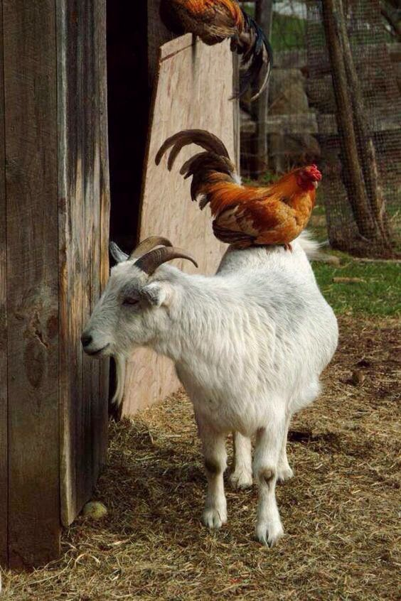 Accommodating goat gives a chicken a warm roost. | Goats, Farm animals
