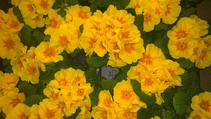 Kevätesikot suorastaan häikäisevät aurinkoisella värityksellään.