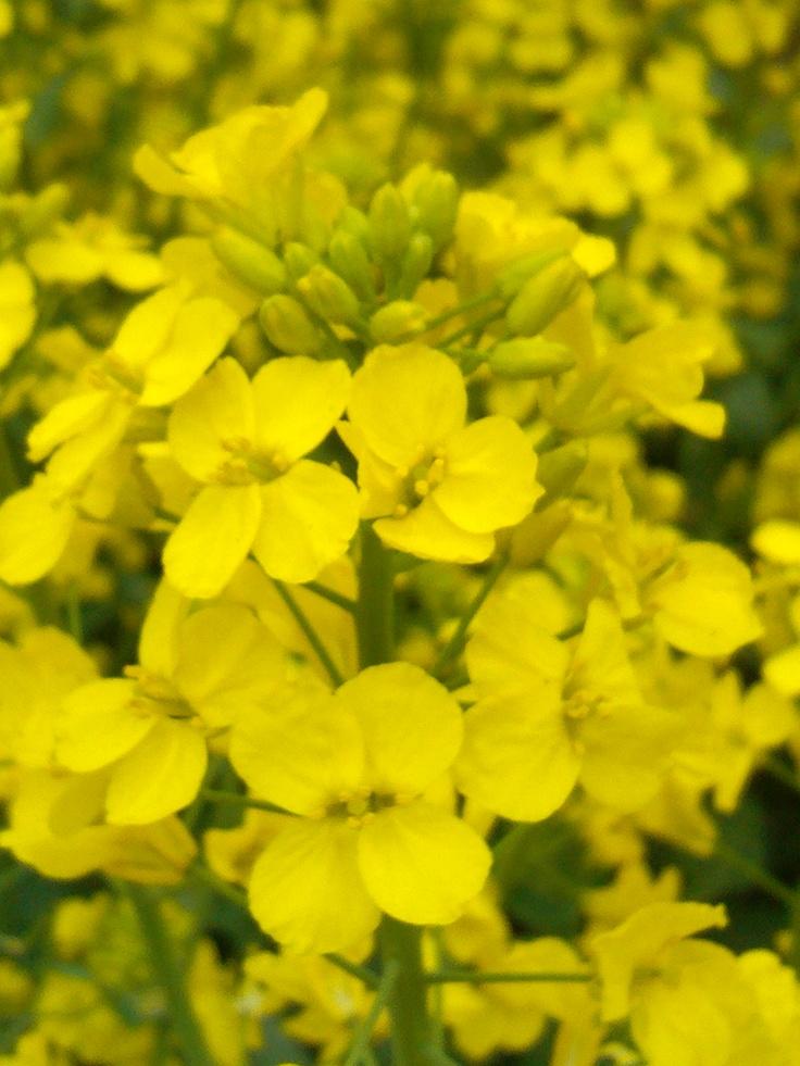 rape flower , beautiful