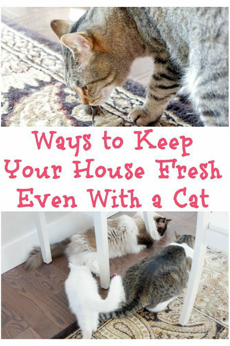 How To Keep Your House Fresh Even With A Cat Cat Training Kitten Care Cat Care
