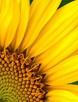 Sunflower--- just a little bit of beauty in Ukraine