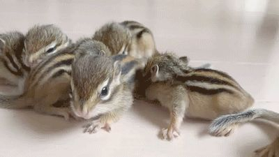 Did You Know Baby Chipmunks Are Called Puppies?