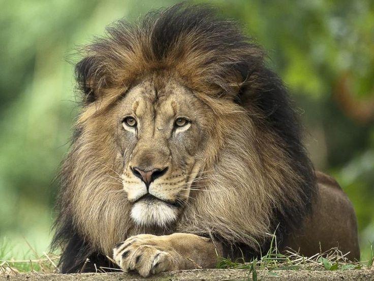 Les 755 meilleures images du tableau le lion sur pinterest - Animaux du roi lion ...