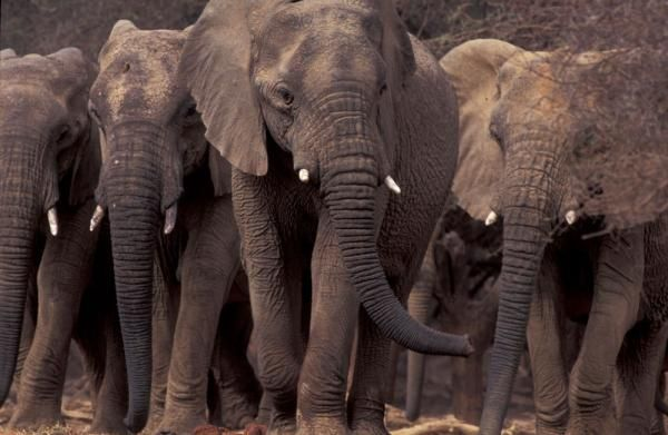 The rare Mali elephant undertakes the longest elephant migration on earth  a 300-mile circle around the heart of landlocked Mali in West Africa. Traversing the southern edge of the Sahara Desert, the only way to survive is to keep moving across the scorched earth  from water to water, food to food  both in desperately short supply.