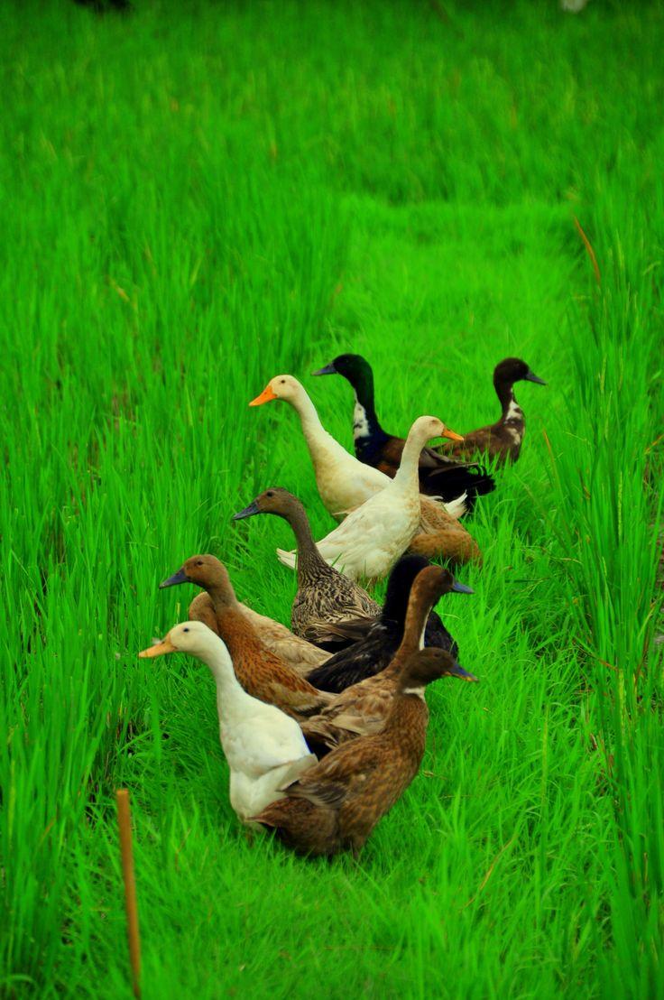 Confused ducks in Bali