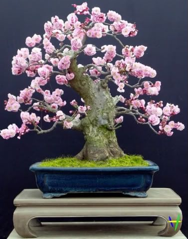 ...Bonsai Tree...