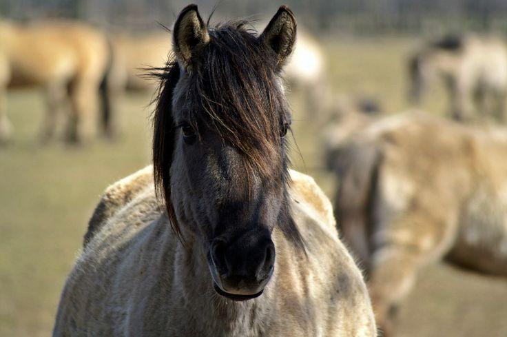 Wilde paarden in de natuur, prachtig om te zien. Maar wat leren wilde paarden ons over de manier waarop wij onze paarden het beste kunnen houden?