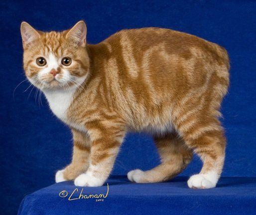 Manx Cat Breed - Origin | History and Myths  |Manx Cat History