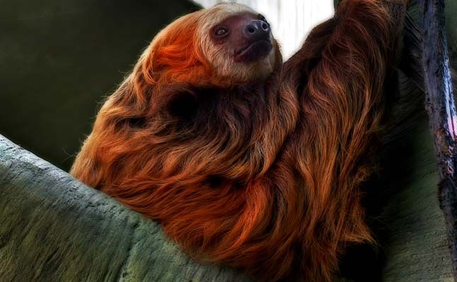Hoffman's Two Toed Sloth Como Zoo. She is so lovely:).