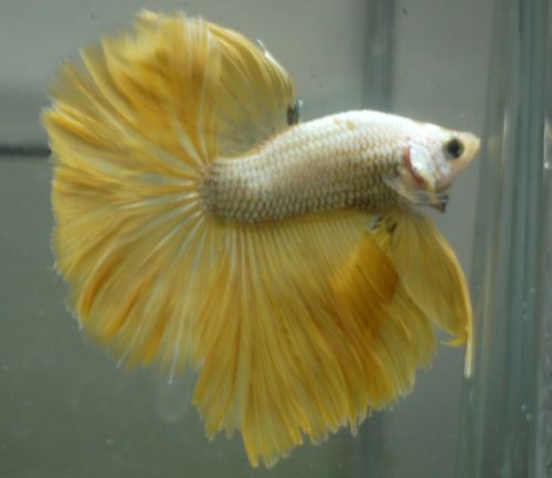 1000+ images about Siamese Fighting Fish - Betta Fish ...
