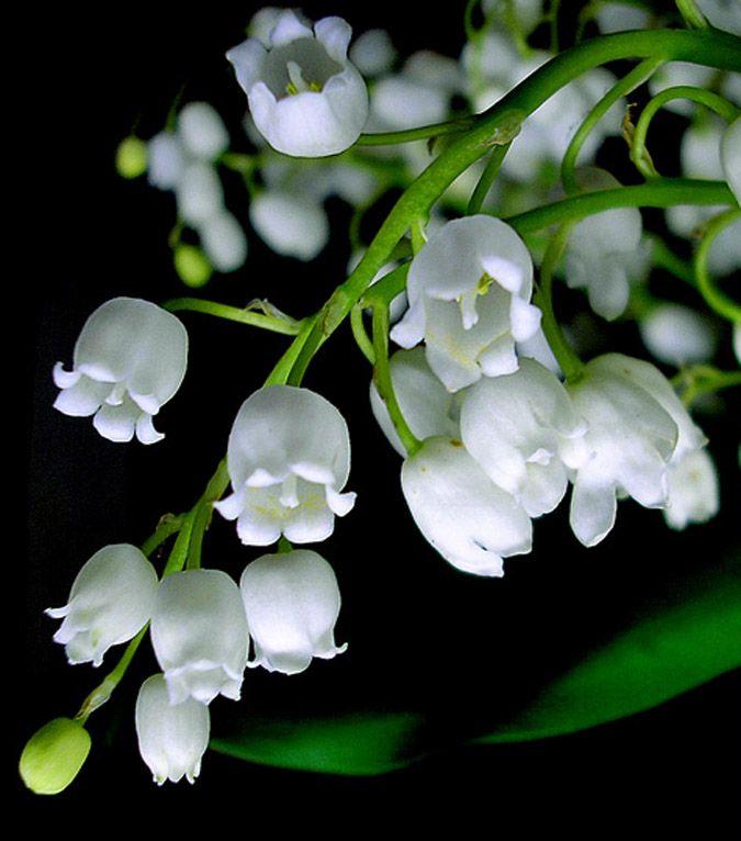 Imágenes de flores y plantas: Muguet
