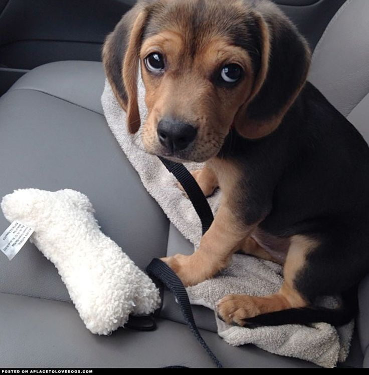Beagle Puppy Not Used To Car Rides
