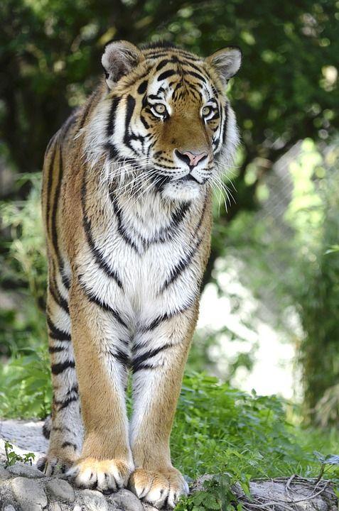Tiger, Katze, Raubkatze, Raubtier, Gefährlich