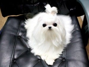 Micro Teacup Maltese.  It doesn't even look real!