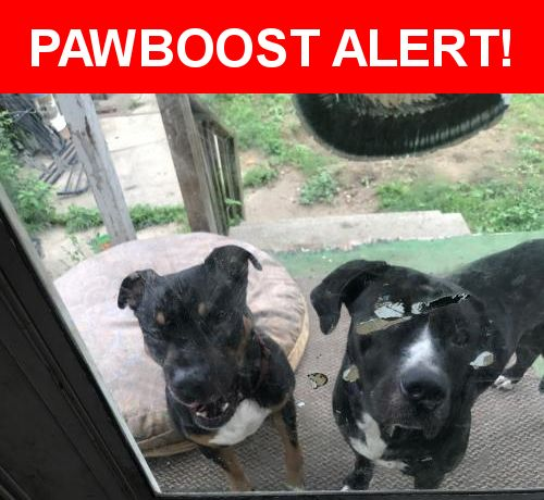 Is this your lost pet? Found in Toledo, OH 43609. Please spread the word so we can find the owner!  Two dogs together. One Rottweiler one female black and white dog. The other one is male they both have collars but no tags.   Near Nicholas St & Prouty Ave