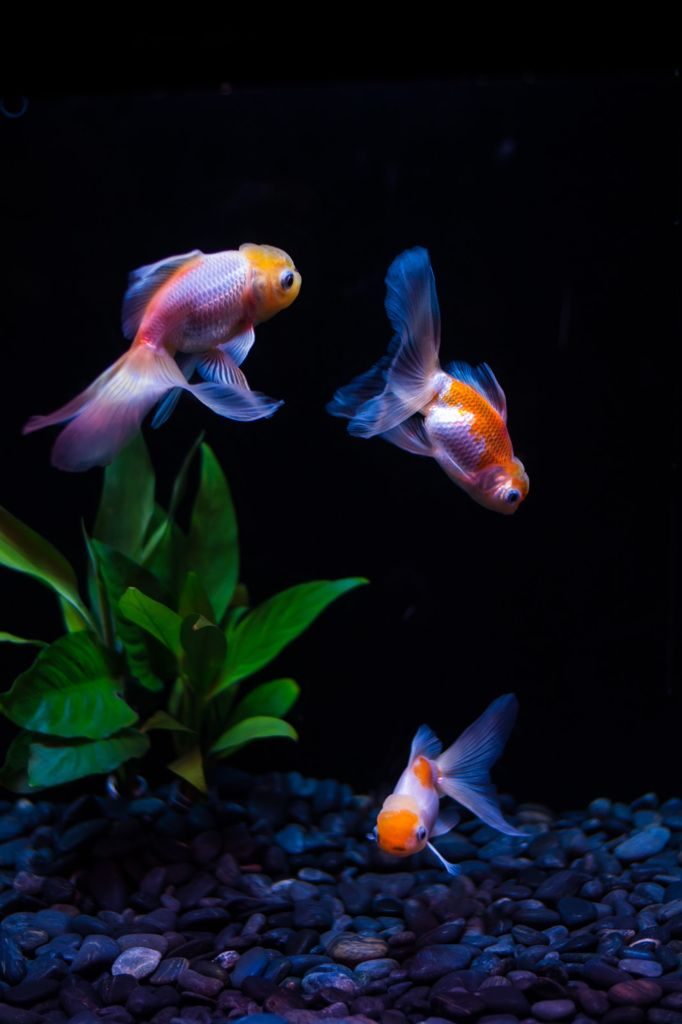 J = Japanese goldfish, Kingyo