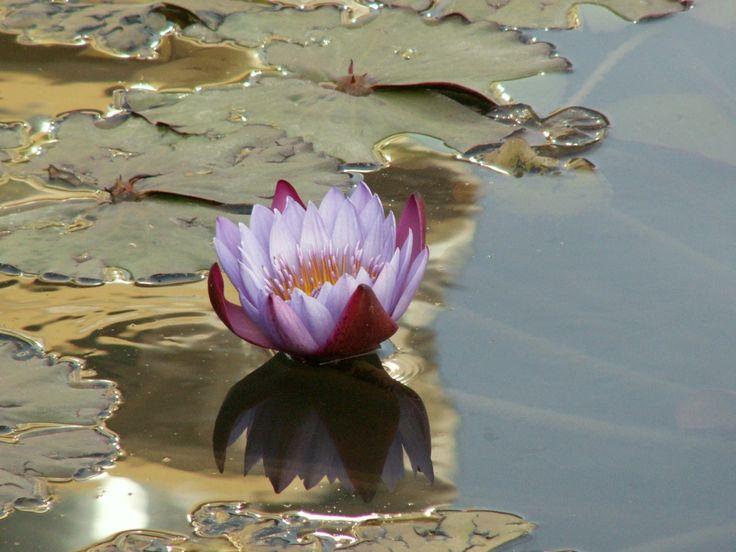 imagens, papéis de parede de água lírio de água, tranquilo vetor, deixa fotos, pântano fundos, material reflexão