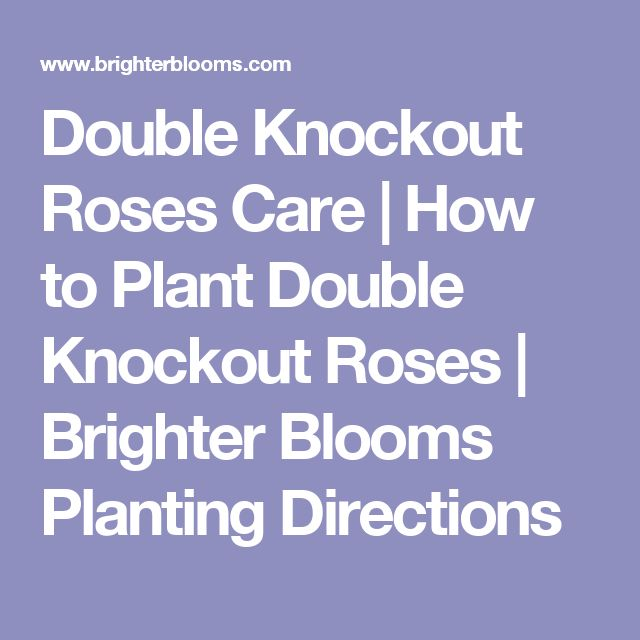 Double Knockout Roses Care | How to Plant Double Knockout Roses | Brighter Blooms Planting Directions