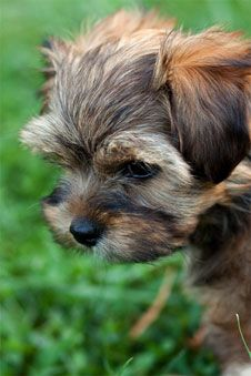 picture of a shih tzu yorkie mix enjoying the outdoors