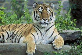 Tigre Siberiano Descansando
