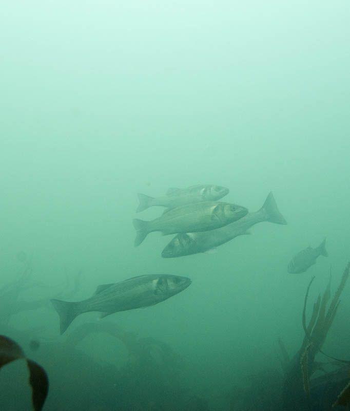 Sea Bass © David Miller