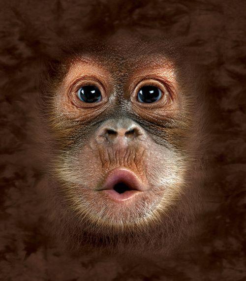 65 Best Borneo Orangutan Images On Pinterest Orangutans