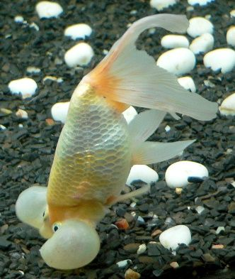 """Common Goldfish Illnesses and How to Treat Them by Complete Goldfish Care: """"If your goldfish are acting strangely, rubbing against objects in the aquarium or resting listlessly at the bottom of the tank, you know something is wrong. It's especially alarming when your goldfish start developing cotton-like growths and discolored patches along the scales and fins. Goldfish will fall victim to parasites, bacterial infections, and fungal diseases if kept in poor water conditions."""""""