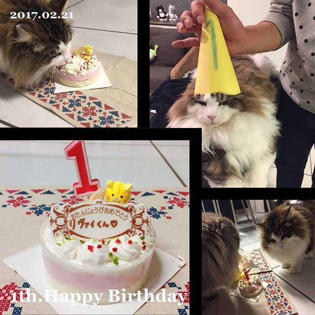 リヴァイ🐱💕 2017.2.21 1歳の誕生日おめでとう🎊🎂👏😊 、 、 #忠実#健気#寂しがり屋#ツンデレ#優しい#嫉妬#運動神経良い#食いしん坊#本能で動く#優しい#人懐っこい#人好き#好奇心旺盛#👨にそっくりな性格 w、 #いつも近くに居てくれてありがとう🙇💕、 #猫ケーキ🎂舐めたらおいしかったでも食いつい悪い 👨買ってきてくれてありがと♥よかったね🐱🦁、 #1歳 #おめでとう#1歳のわりにデカイ#まだ大きくなるらしい#さすが#ノルウェージャンフォレストキャット#猫#cat#みんねこ#愛猫#みん猫部#猫愛 #スコティッシュ#親バカ