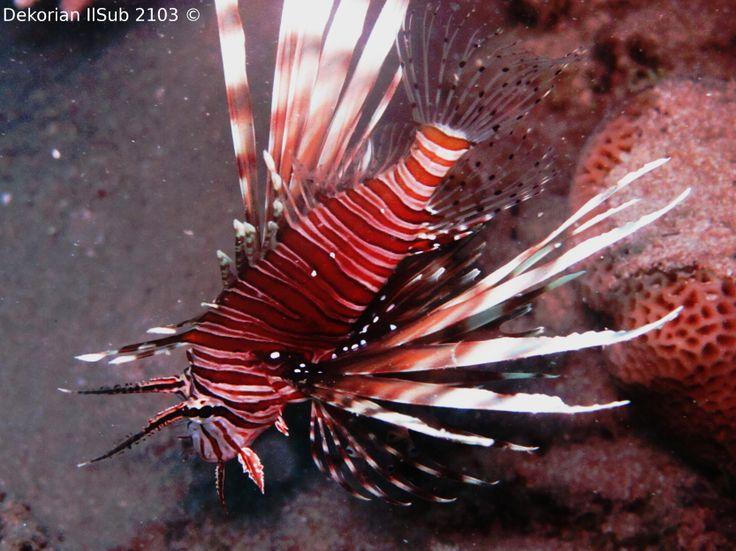 www.clubsubamicidelmare.it - Incontriamo sempre creature meravigliose.