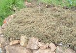 Newspaper weed control combined with straw mulch