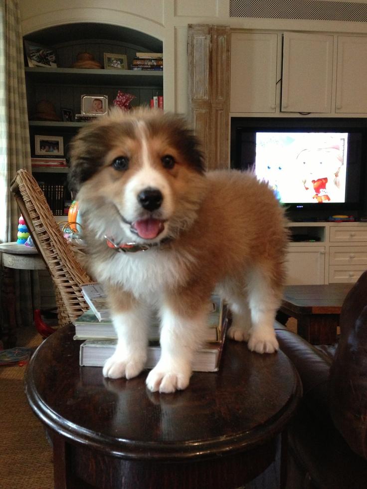 Great Dane Bernese Mountain Dog Mix | www.imgkid.com - The ...