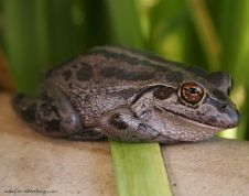 One of our friendly inhabitants of our little garden ... Southern Green tree frog, otherwise known as the motorbike frog